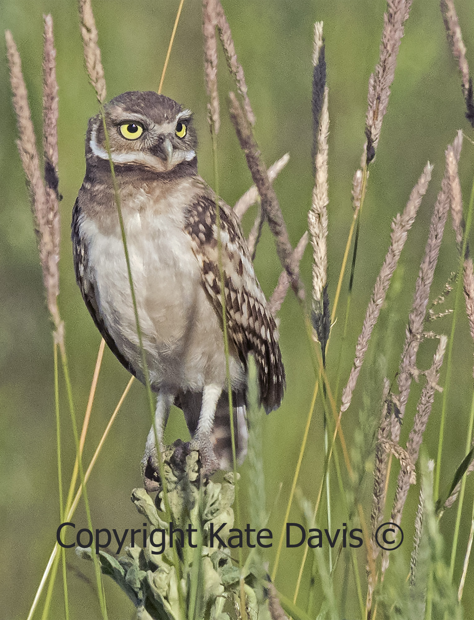 Young Burrowing Owl In the Grass