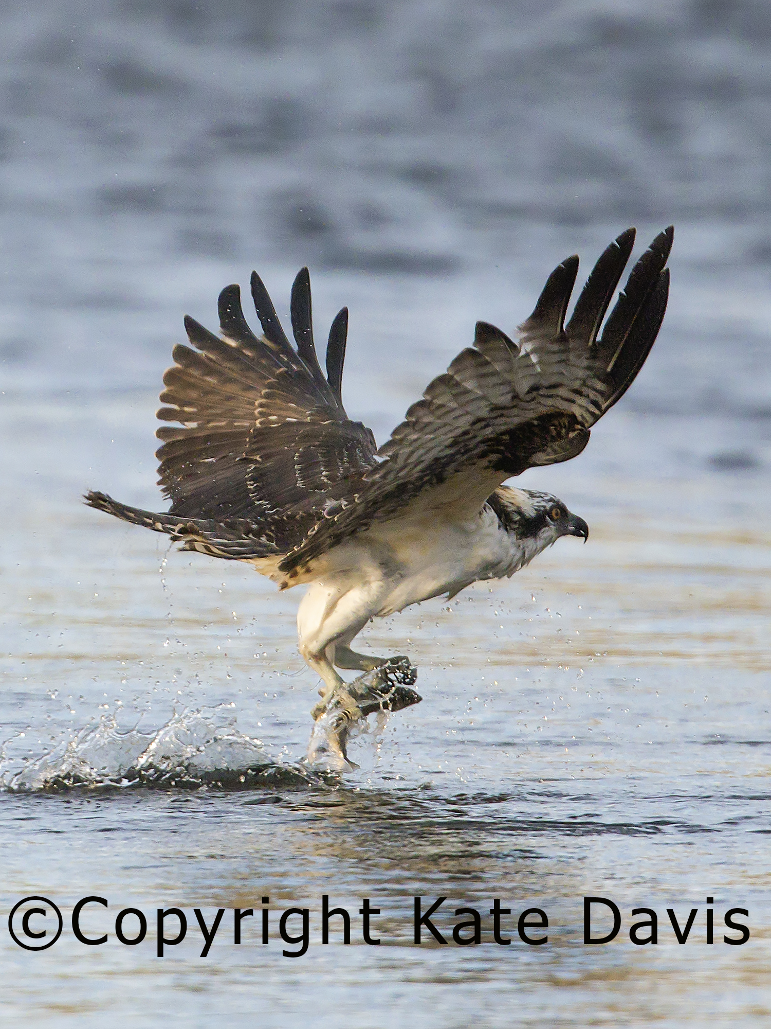 A young Osprey caught a whitefish in the Bitterroot River