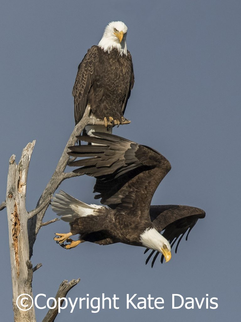 Bald Eagle Pair 2018