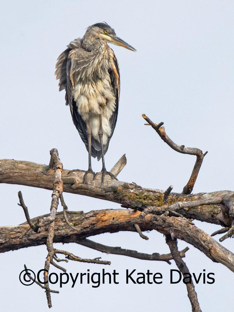 Great Blue Heron on the Bitterroot