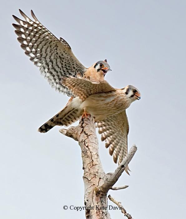 Peregrine Falcon - American Kestrel Pair - American Kestrel - American Kestrel Pair in the spring