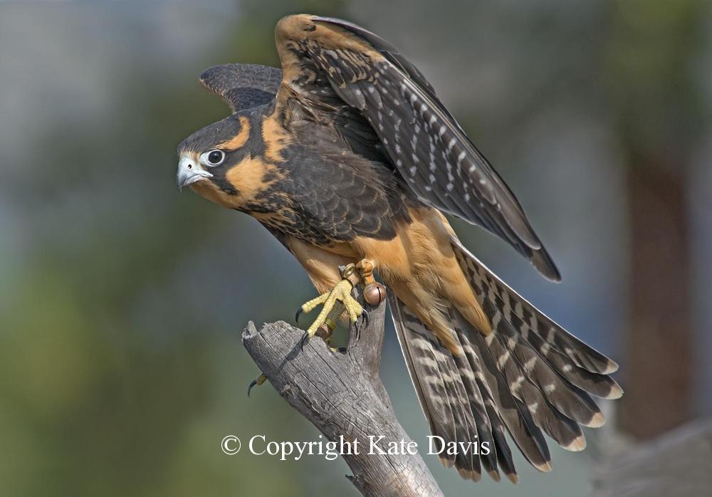 Peregrine Falcon -  Aplomado Falcon - American Kestrel - Sonora the Aplomado Falcon lands after a dove chase