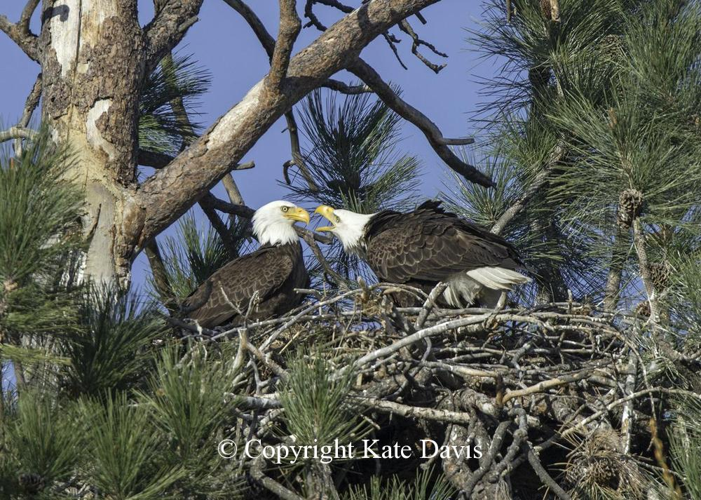 American Bald Eagle - Argument - Golden Eagle - Bald Eagle pair in their nest, their third year and they would produce one chick