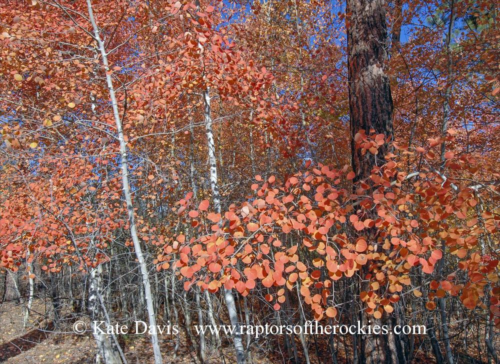 Aspens 2 - Elk Photos - I love this little grove of quaking aspens near the house!