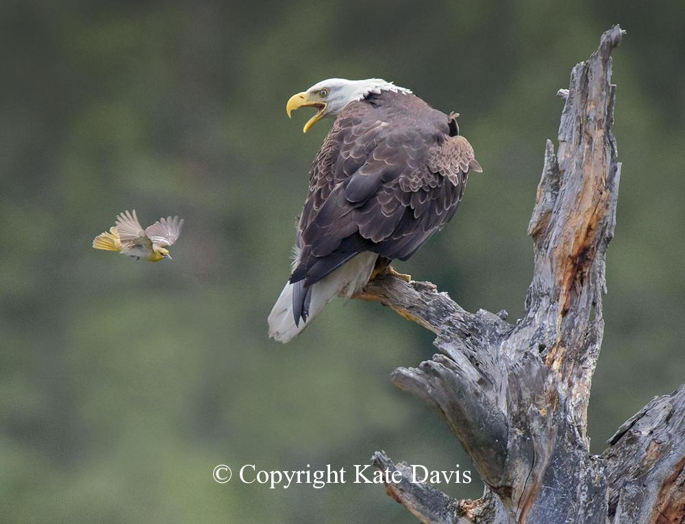 American Bald Eagle - Attack of the Bullock's Oriole  - Golden Eagle - Bald Eagle are afraid of small mobbing birds, here a Bullock's Oriole
