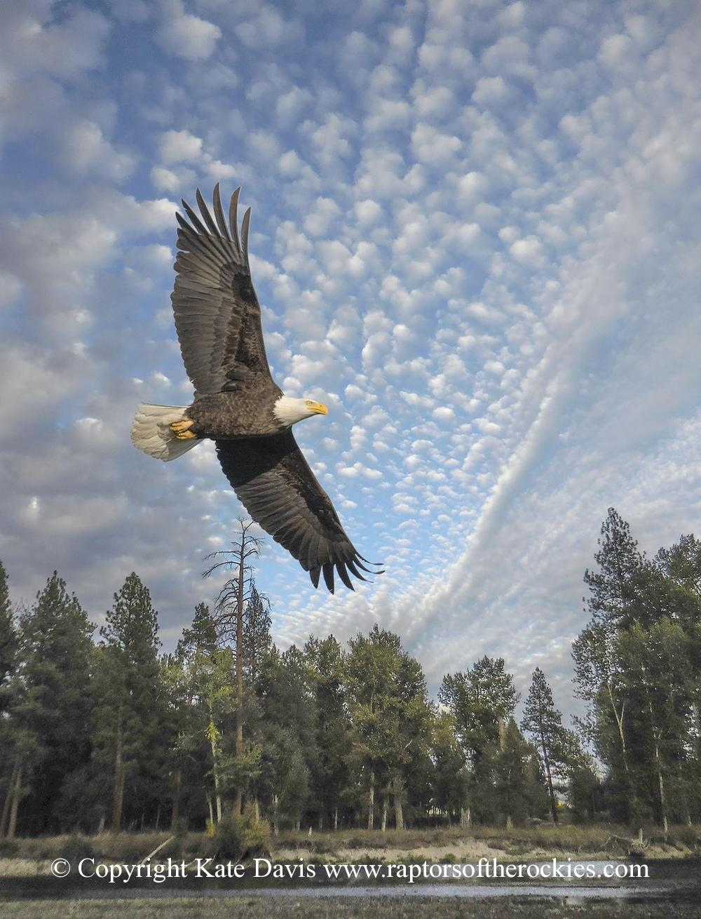 American Bald Eagle - Audubon Conference Cover - Golden Eagle - A beautiful cloud formation at the river, combined with an eagle closeup photo