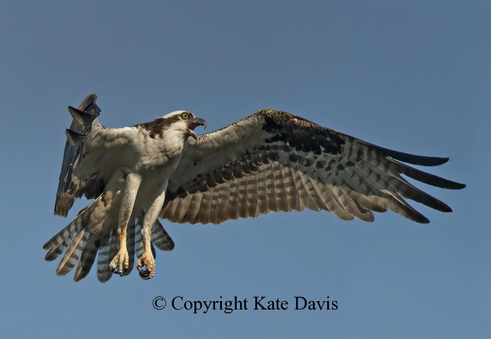 photographs of birds of prey - August Osprey Flight - Rough-legged Hawk - August Osprey flight, and one agitated raptor