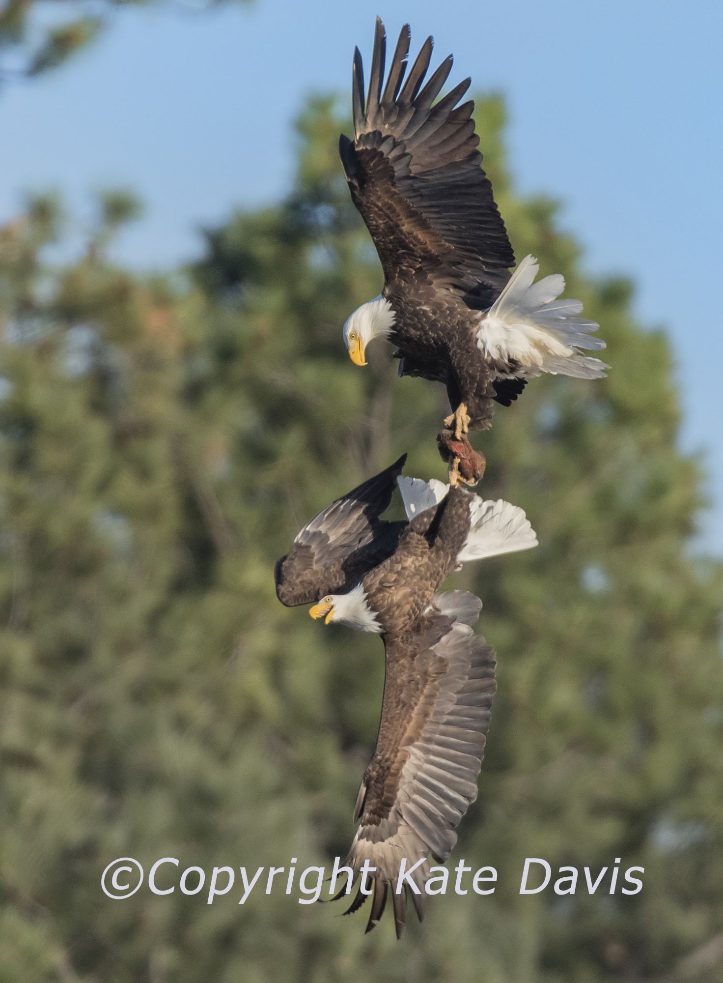Reluctant Meat Exchange Bald Eagle Pair