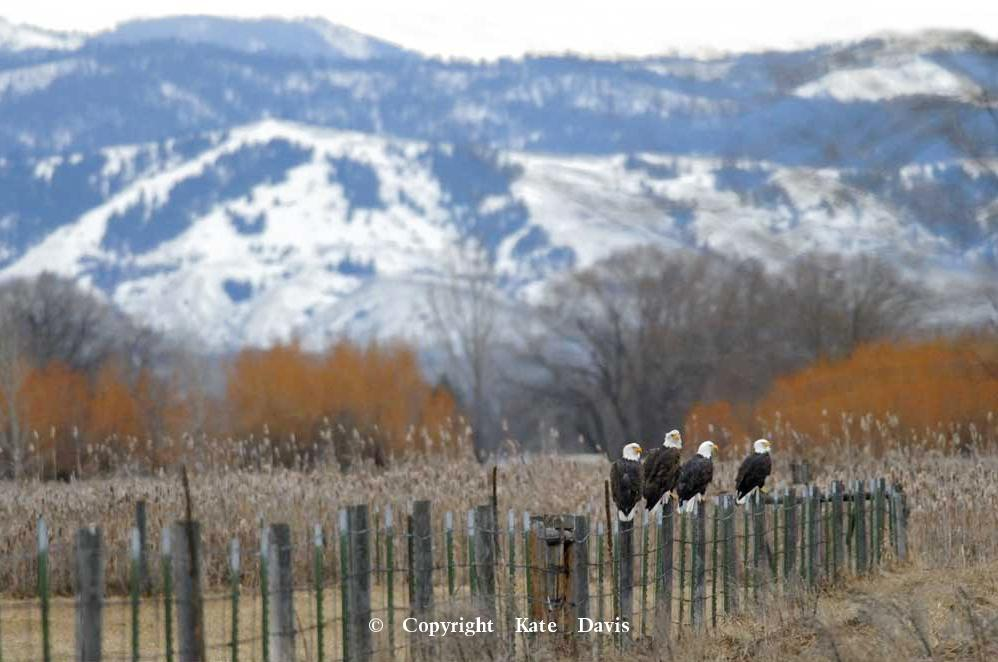 American Bald Eagle - Bald Eagles - Golden Eagle - Must Be A Dead Deer Around Here - Bald Eagles in the Sapphire Mountains