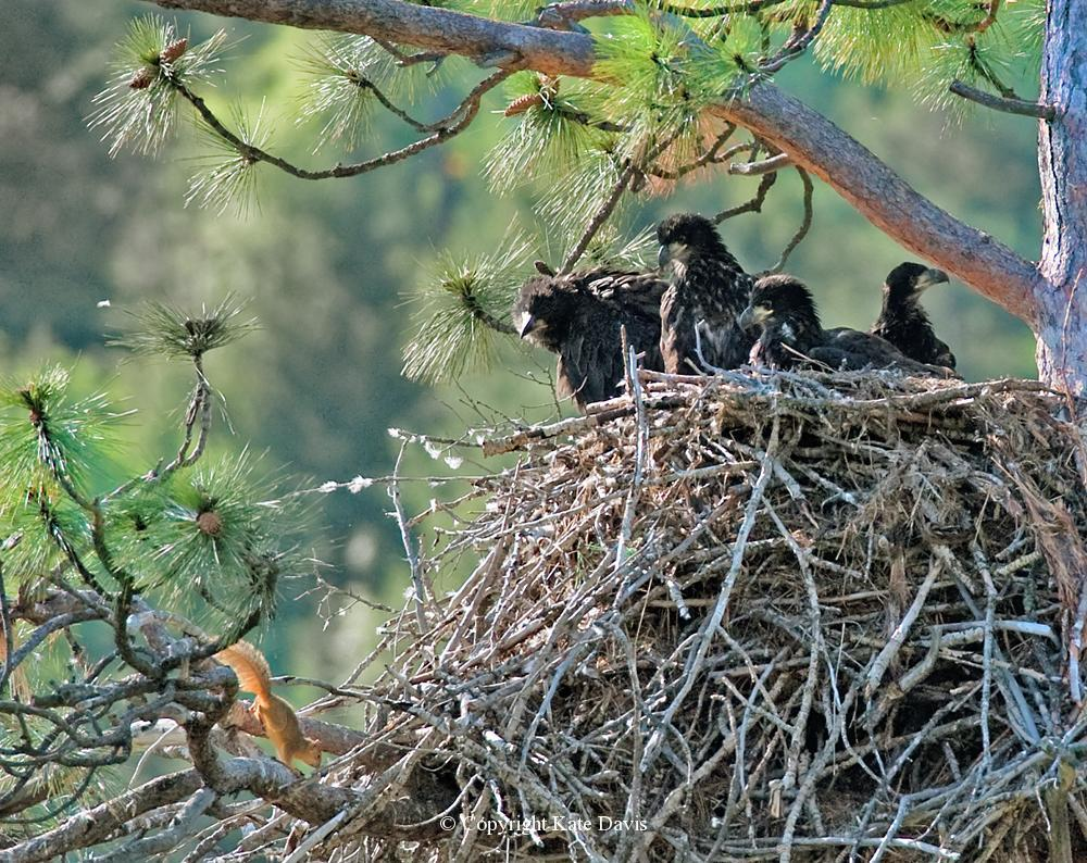 American Bald Eagle - Bald Eagles and Fox Squirrel - Golden Eagle - Four Young Bald Eagles and a resident Eastern Fox Squirrel that lives in the nest under the raptors, safe as can be