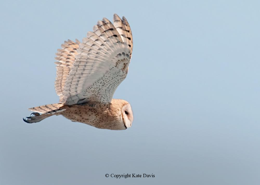 Kate Davis Owl Photographs  - Barn Owl - Owl Photography - Barn Owl actually flew out of a barn near Salmon, Idaho