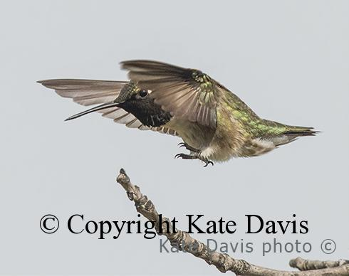 Song Bird Photos - Black-chinned 2015 - Shore Bird Photos - Black-chinned 2015 in a pin-point landing