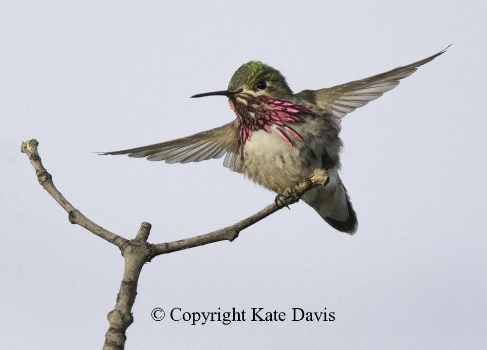 Song Bird Photos -  Calliope Hummingbird - Shore Bird Photos - Calliope Hummingbird showing of his wonderful gorgettes