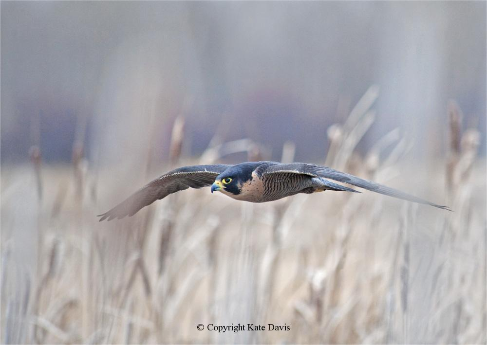 Peregrine Falcon - Cattails 2 - American Kestrel - Our Peregrine coming in for a landing after chasing ducks