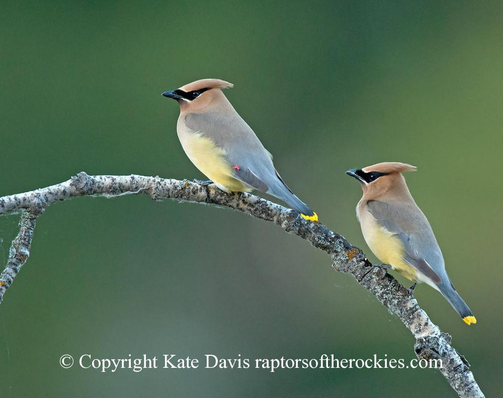 Song Bird Photos - Cedar Waxwings - Shore Bird Photos - Cedar Waxwings at the river, no eagles around so bunch of these photos