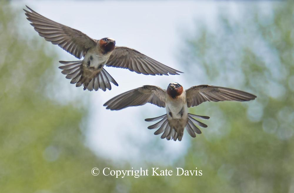 Song Bird Photos - Cliff Swallows - Shore Bird Photos - Cliff Swallows - I set the camera on manual focus and lucked out with this shot from the second story studio over the garage, lucked out right away
