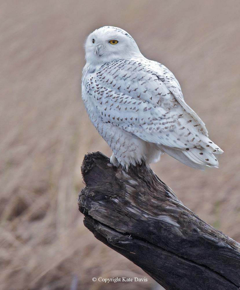 Kate Davis Owl Photographs  - Coastal Snowy Owl - Owl Photography - Coastal Snowy Owl, handsome birds