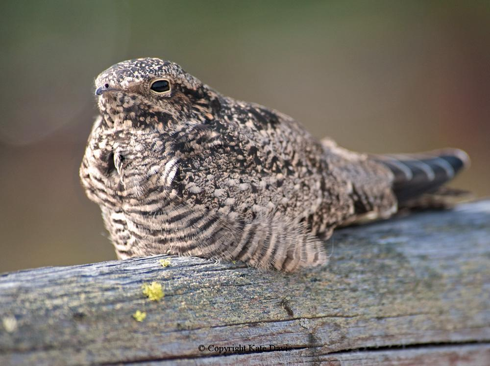 Song Bird Photos - Common Nighthawk - Shore Bird Photos - Common Nighthawk sunning on the fence on our driveway, pretending he was asleep for one second longer when he flew