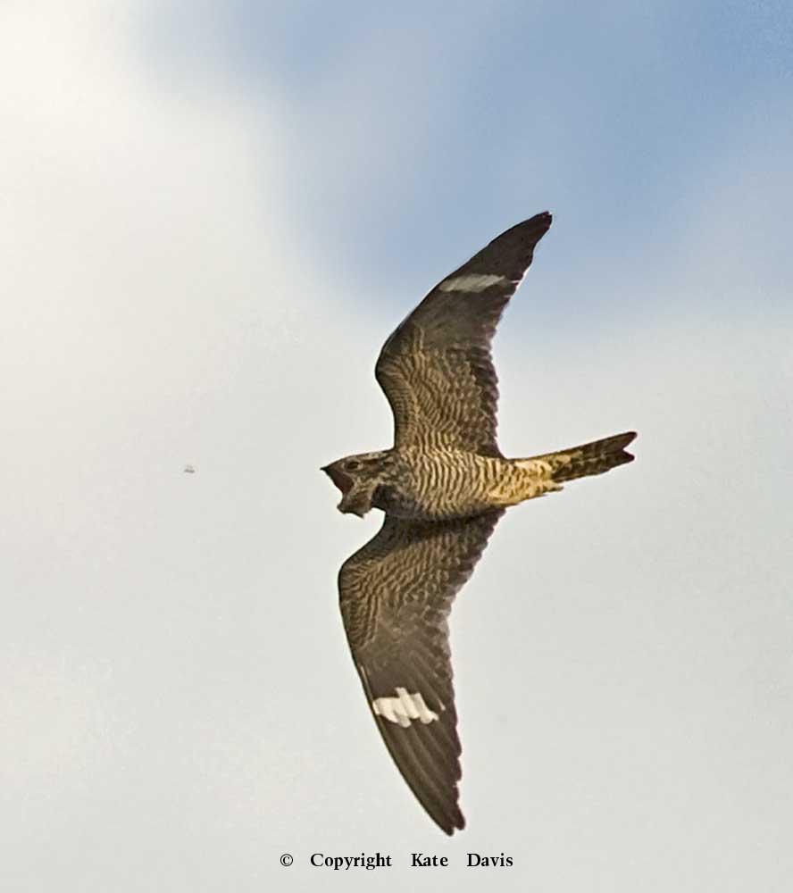 Song Bird Photos - Common Nighthawk  - Shore Bird Photos - Common Nighthawk catching an insect in the front yard, lucked out