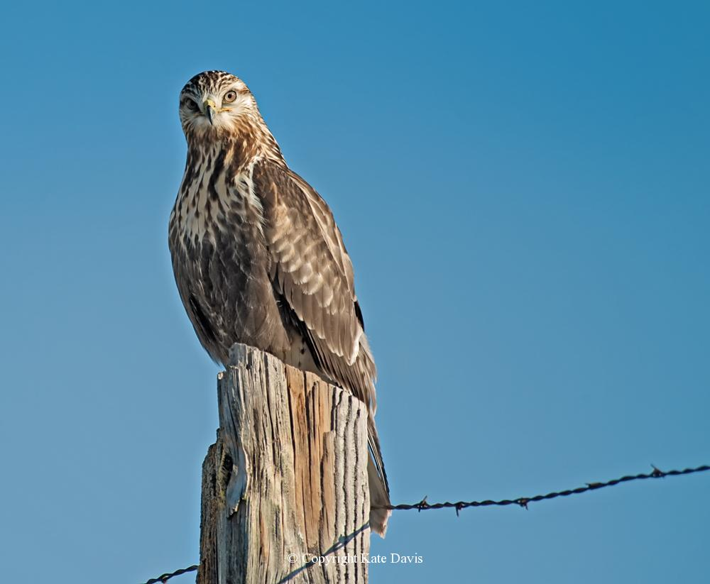 photographs of birds of prey - Curious Rough-legged Hawk  - Rough-legged Hawk - Rough-legged Hawk are a favorite wintertime raptor in the lower 48