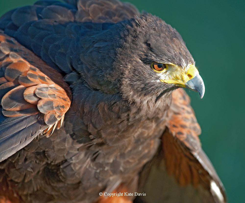 photographs of birds of prey - Deja the Harris's Hawk - Rough-legged Hawk - Deja a Harris's Hawk poser