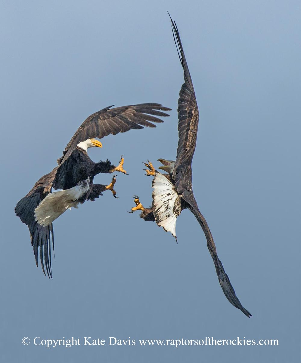 American Bald Eagle - Eagle Fight - Golden Eagle - The adult male Bald Eagle got in a scrap with a younger passer-by