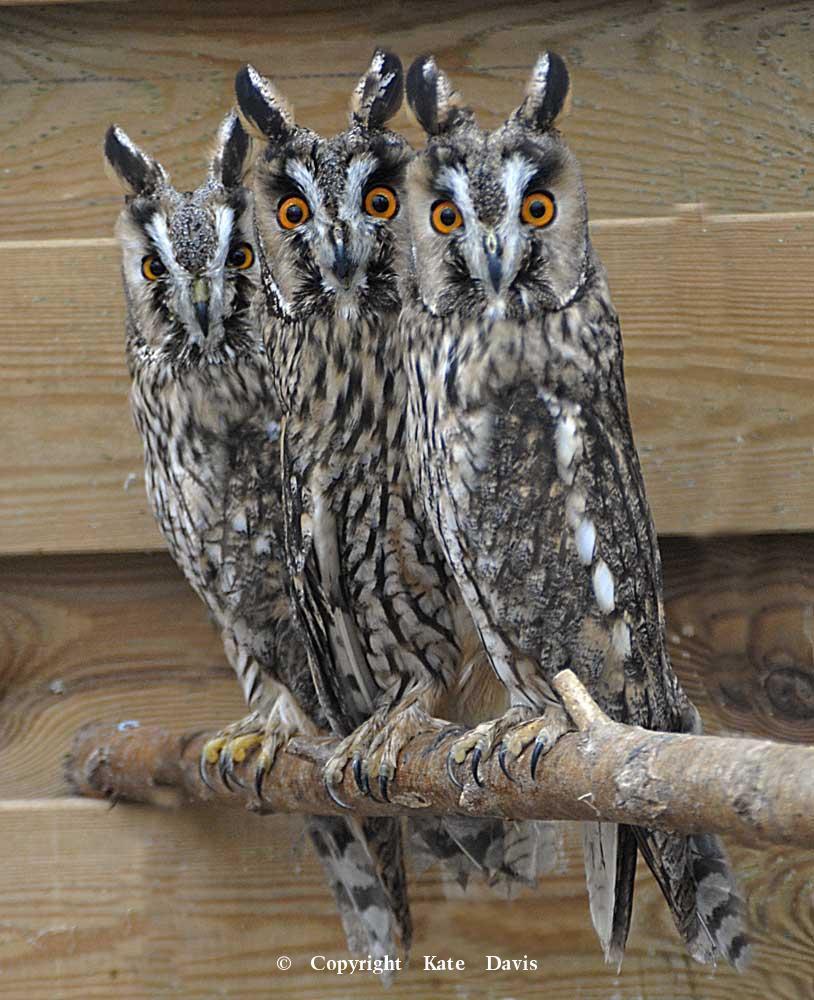 Kate Davis Owl Photographs  - European Long-eared Owls - Owl Photography - European Long-eared Owl at a falconry center in Holland