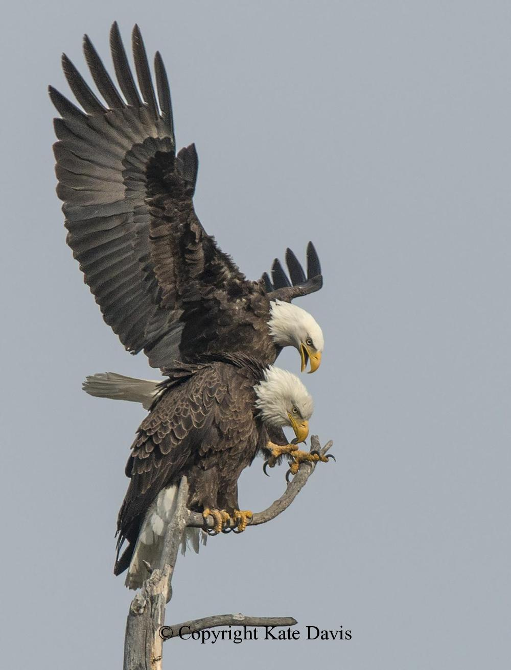 American Bald Eagle - Favorite of the Year - Golden Eagle - Bald Eagles - favorite photo of the year 2015
