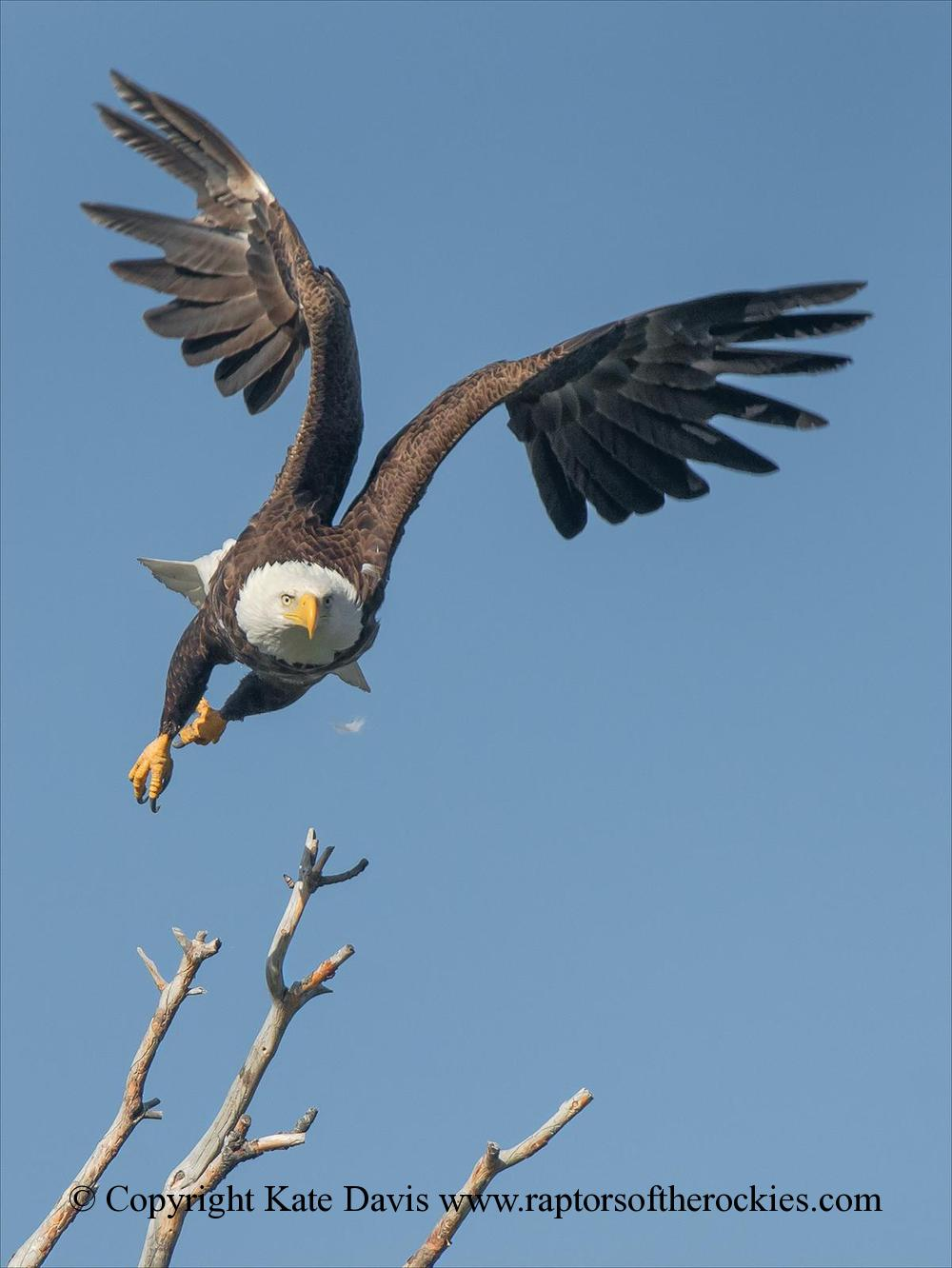 American Bald Eagle - Female Flies - Golden Eagle - Female Bald Eagle takes off to chase something
