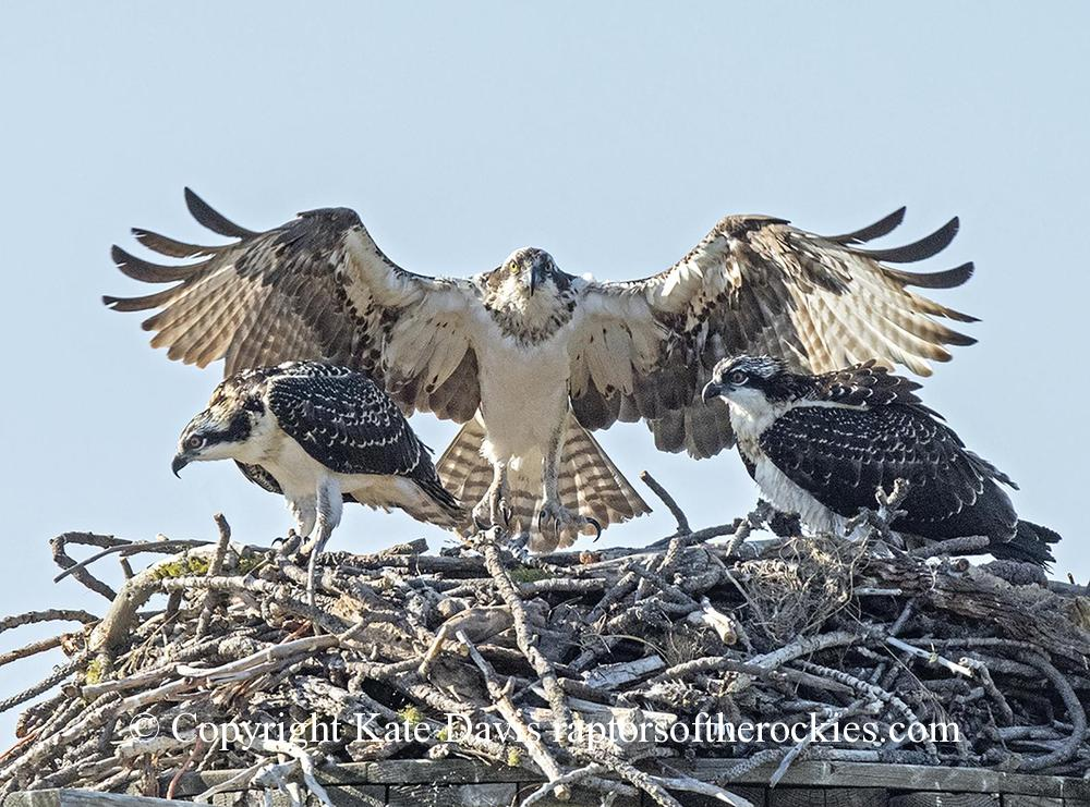 photographs of birds of prey - Female and two Nestling Ospreys - Rough-legged Hawk - Female and two nestling Ospreys, the third fledged moments before