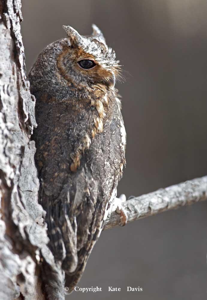 Kate Davis Owl Photographs  - Flammulated Owl - Owl Photography - Flammulated Owls look like big moths