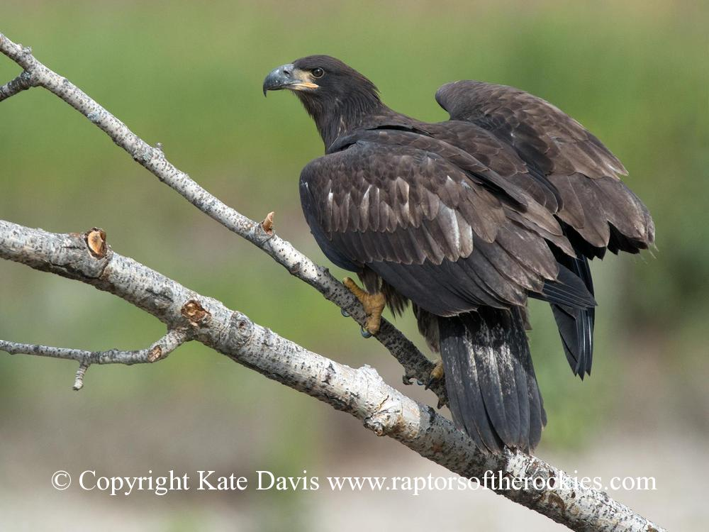 American Bald Eagle - Fledgling - Golden Eagle - Fledgling Bald Eagle with immaculate plumage