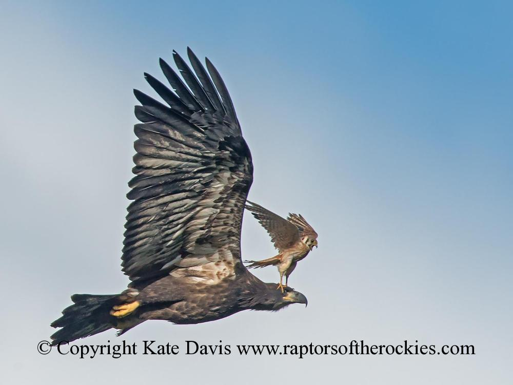 American Bald Eagle - Fledgling and Kestrel - Golden Eagle - Bald Eagle fledgling just out of the nest and female American Kestrel in attack mode