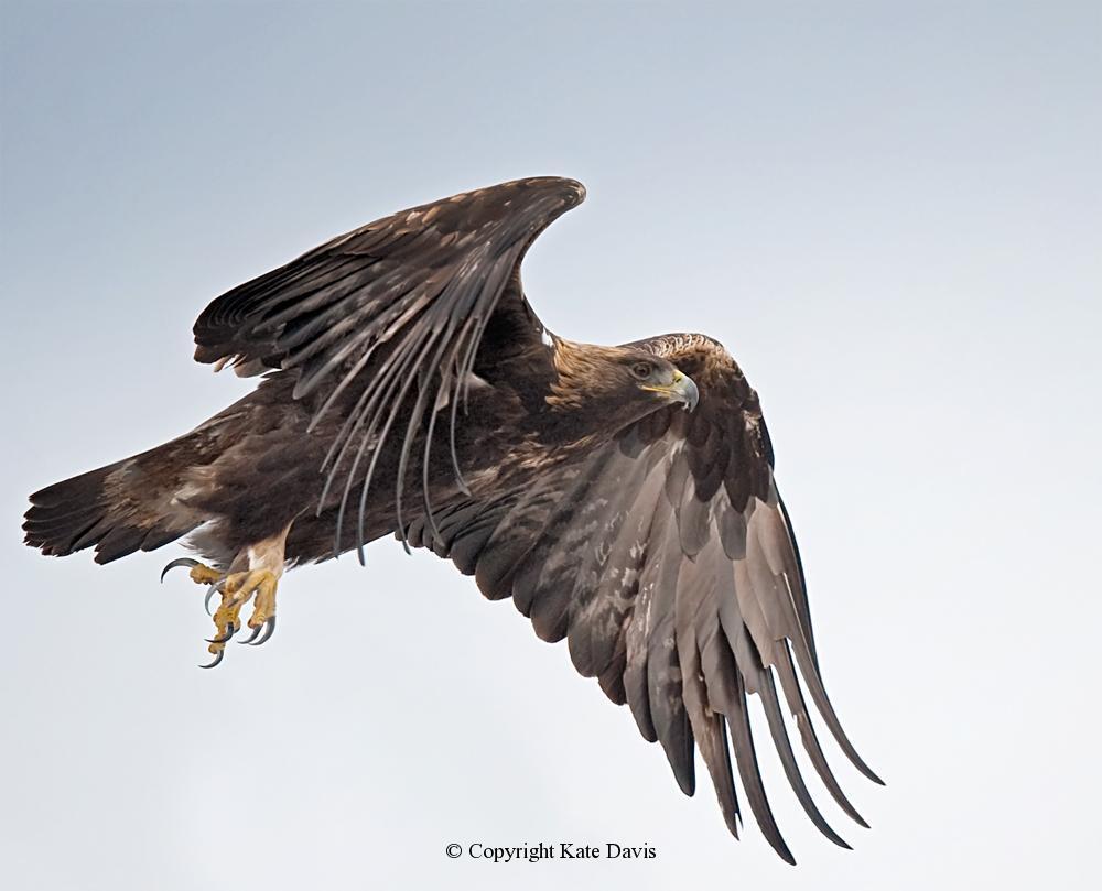 American Bald Eagle - Golden Eagle 2 - Golden Eagle - Same Golden Eagle flies