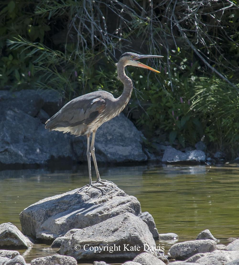Song Bird Photos - Great Blue Heron - Shore Bird Photos - Talking Great Blue Heron (actually just yawning)