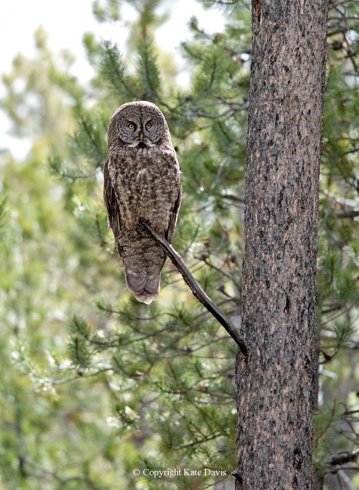 Kate Davis Owl Photographs  - Great Gray Owl - Owl Photography - Great Gray Owl female in the Big Hole Valley, calmly watching the photographer