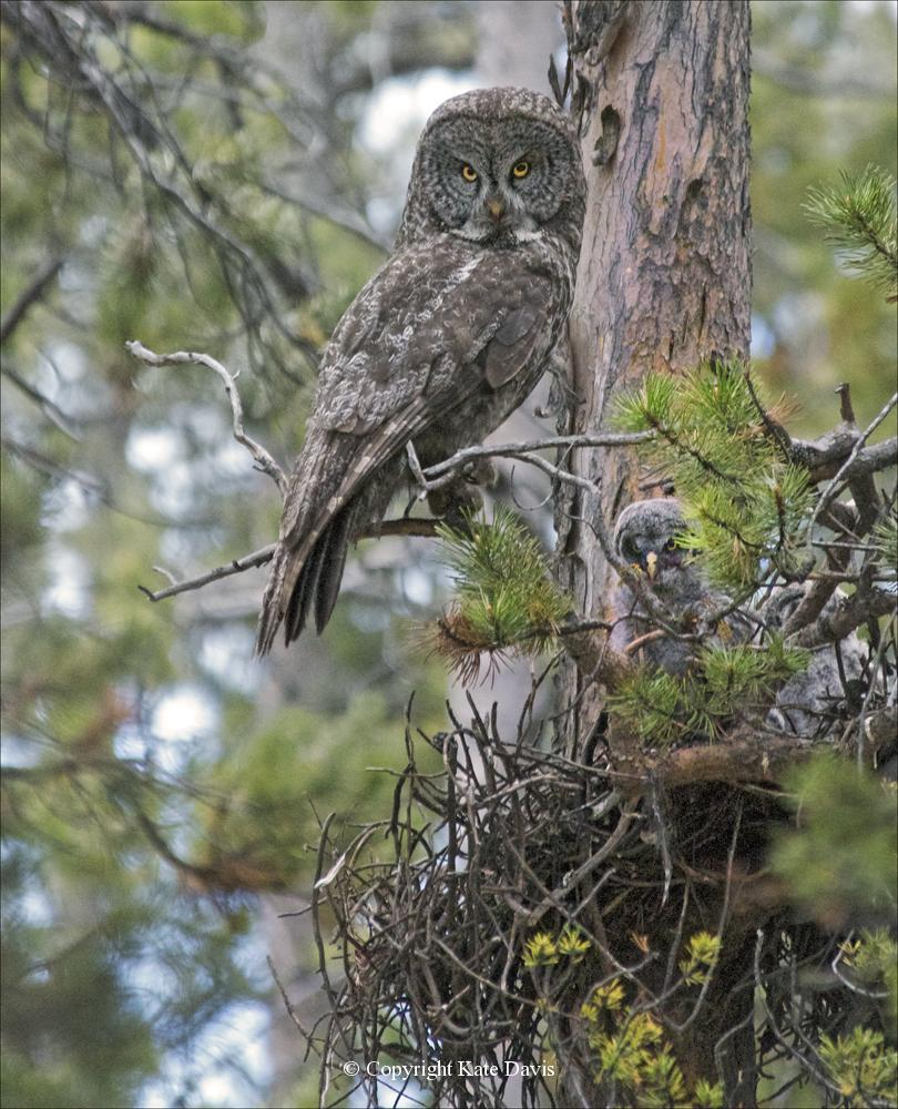 Kate Davis Owl Photographs  - Great Gray Owl - Owl Photography - Female Great Gray Owl at nest, frowning