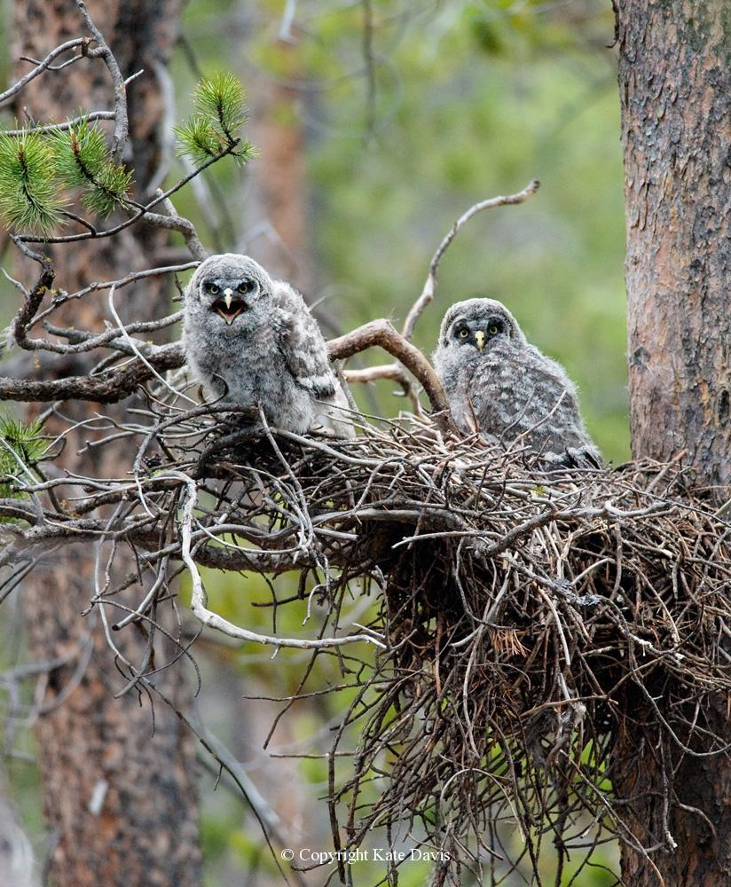Kate Davis Owl Photographs  - Great Gray Owl nestlings - Owl Photography - Calm down. That whole moving-out-and-getting-a-job thing is just a joke, I'm pretty sure.