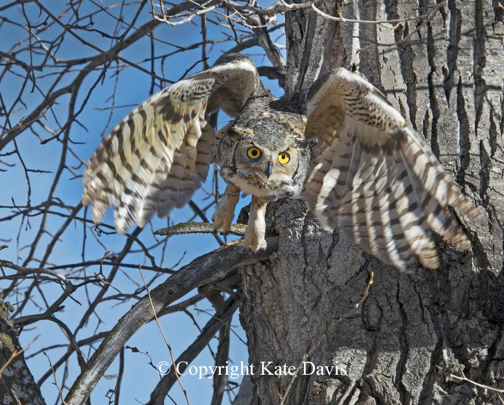 Kate Davis Owl Photographs  - Great Horned Owl - Owl Photography - Roosting owl flew right when my Peregrine landed on my glove, now safe
