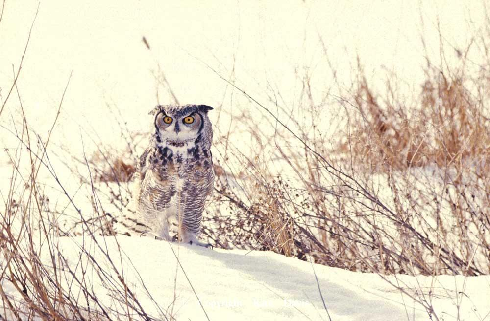 Kate Davis Owl Photographs  - Great Horned Owl in Snow - Owl Photography - Our first Teaching Team Great Horned, Bobo, a slide from 1988