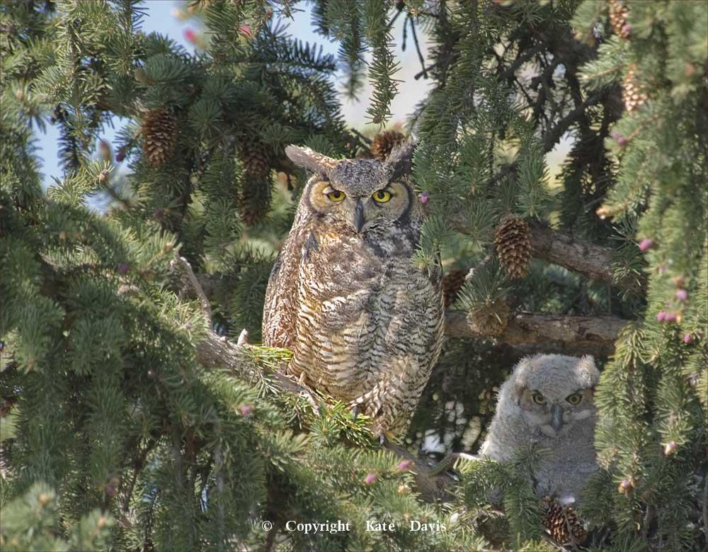 Kate Davis Owl Photographs  - Great Horned Owl(s) - Owl Photography - Great Horned Owl(s) - many people miss seeing this chick at first viewing