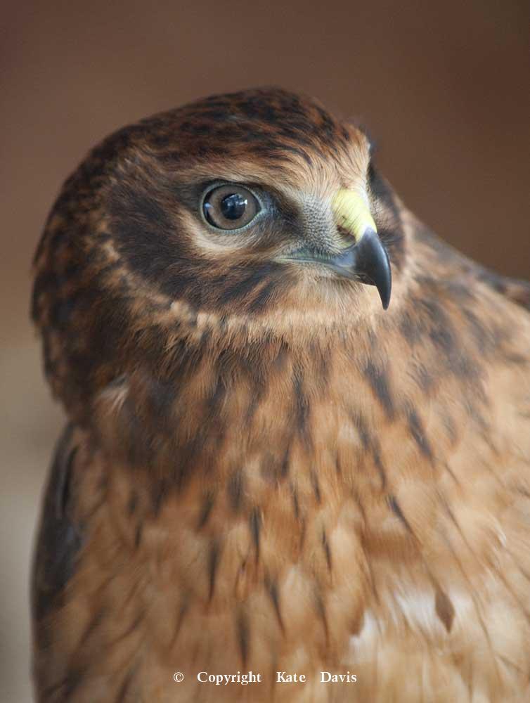 photographs of birds of prey - Harrier Portrait 1 - Rough-legged Hawk - Young Northern Harrier rehabilitation bird