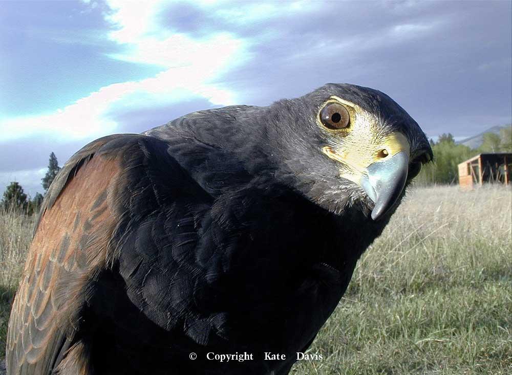 "photographs of birds of prey - Harris's Hawk - Rough-legged Hawk - Chesty says, ""Get Back to Work.""  -  Harris's Hawk"