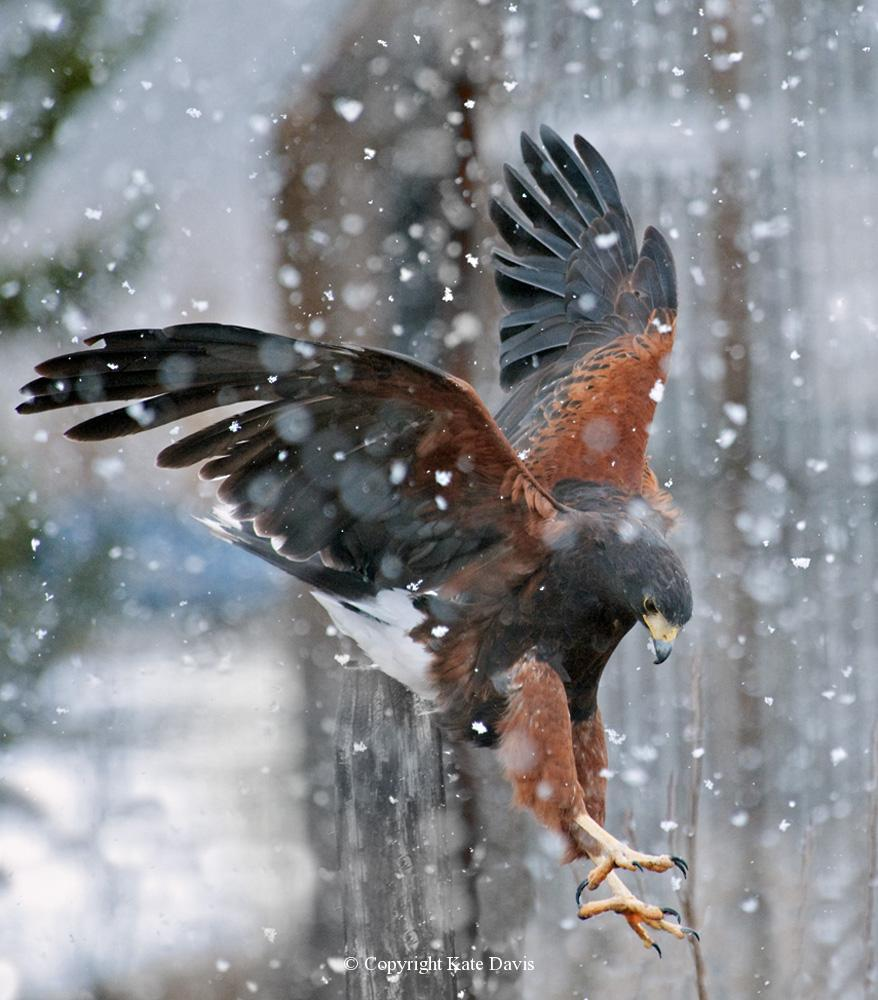 photographs of birds of prey - Harris's Hawk in the Snow - Rough-legged Hawk - Harriss Hawks are desert inhabitants, but not this falconry bird