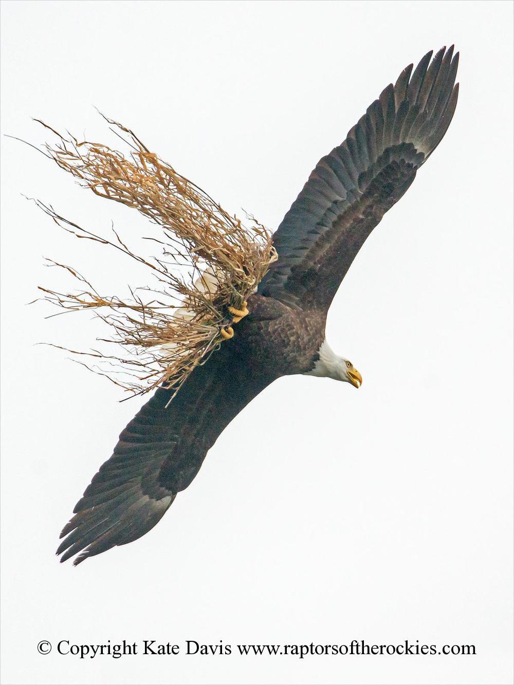 American Bald Eagle - Hauling Grass - Golden Eagle - Bald Eagle hauling grass to the nest
