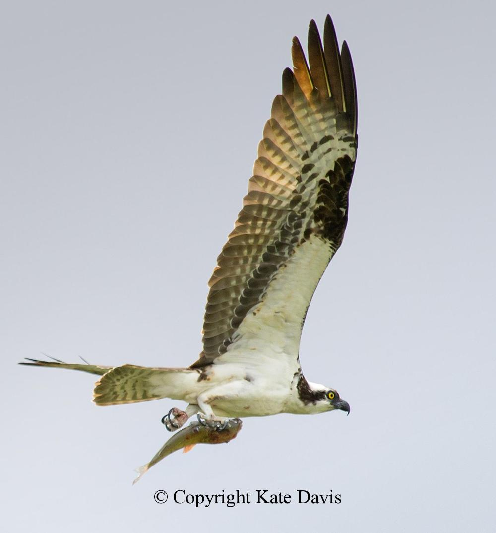 photographs of birds of prey - Headless Fish - Rough-legged Hawk - Headless fish heading back to the nest upstream