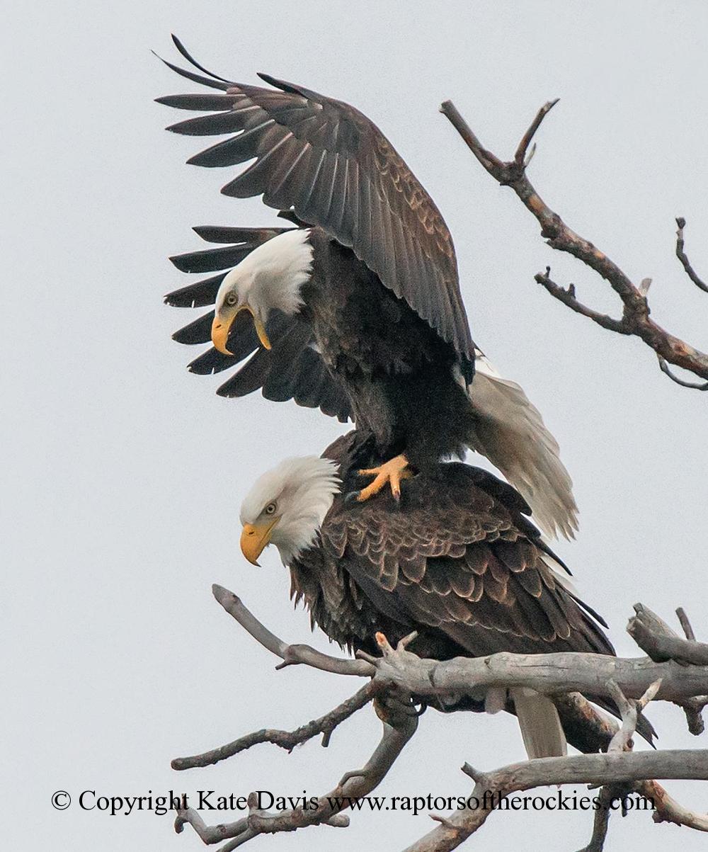 American Bald Eagle - It's Spring! - Golden Eagle - Its Spring! Bald Eagles