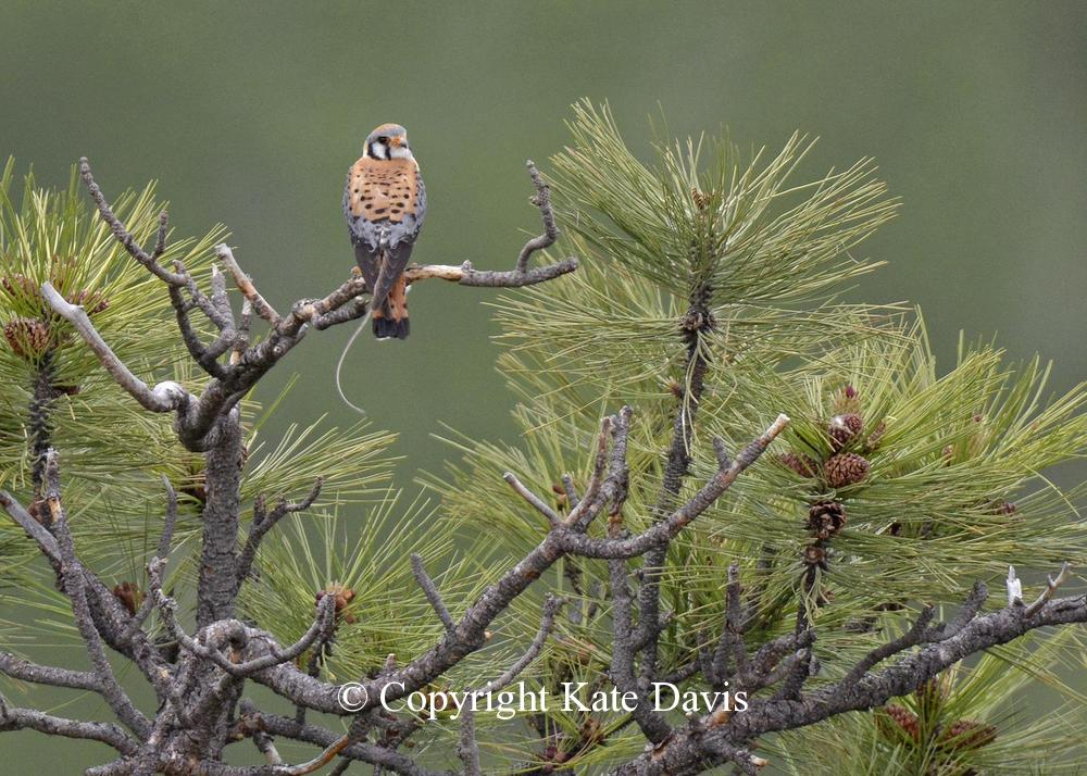 Peregrine Falcon - Kestrel and Western Jumping Mouse - American Kestrel - Kestrel and Western Jumping Mouse, as evidenced by the distinctive tail