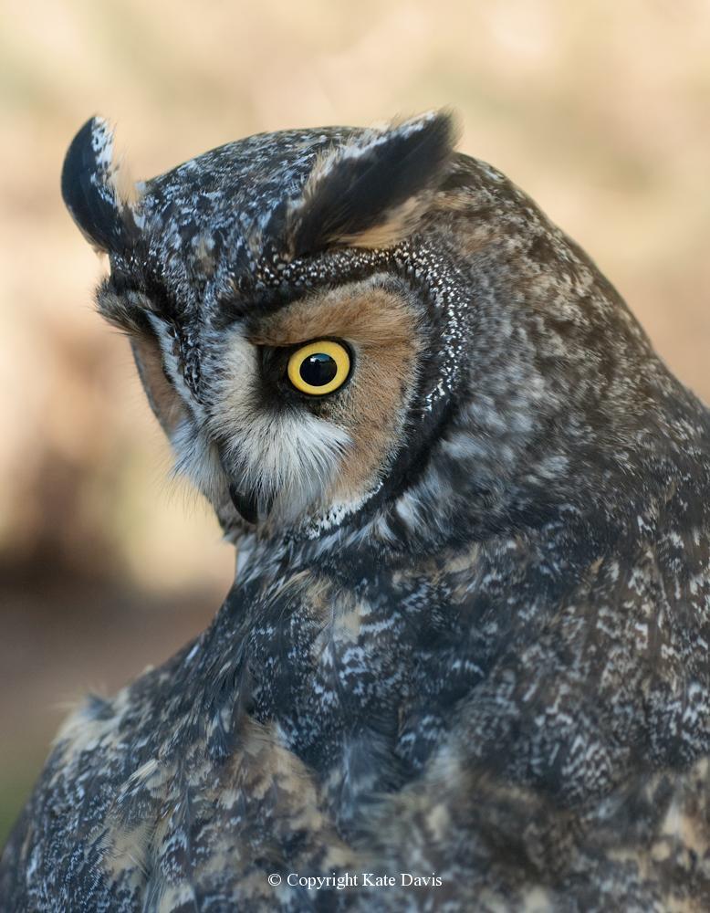 Kate Davis Owl Photographs  - Long-eared Owl portrait - Owl Photography - Long-eared Owl portrait, our Teaching Team bird Degas