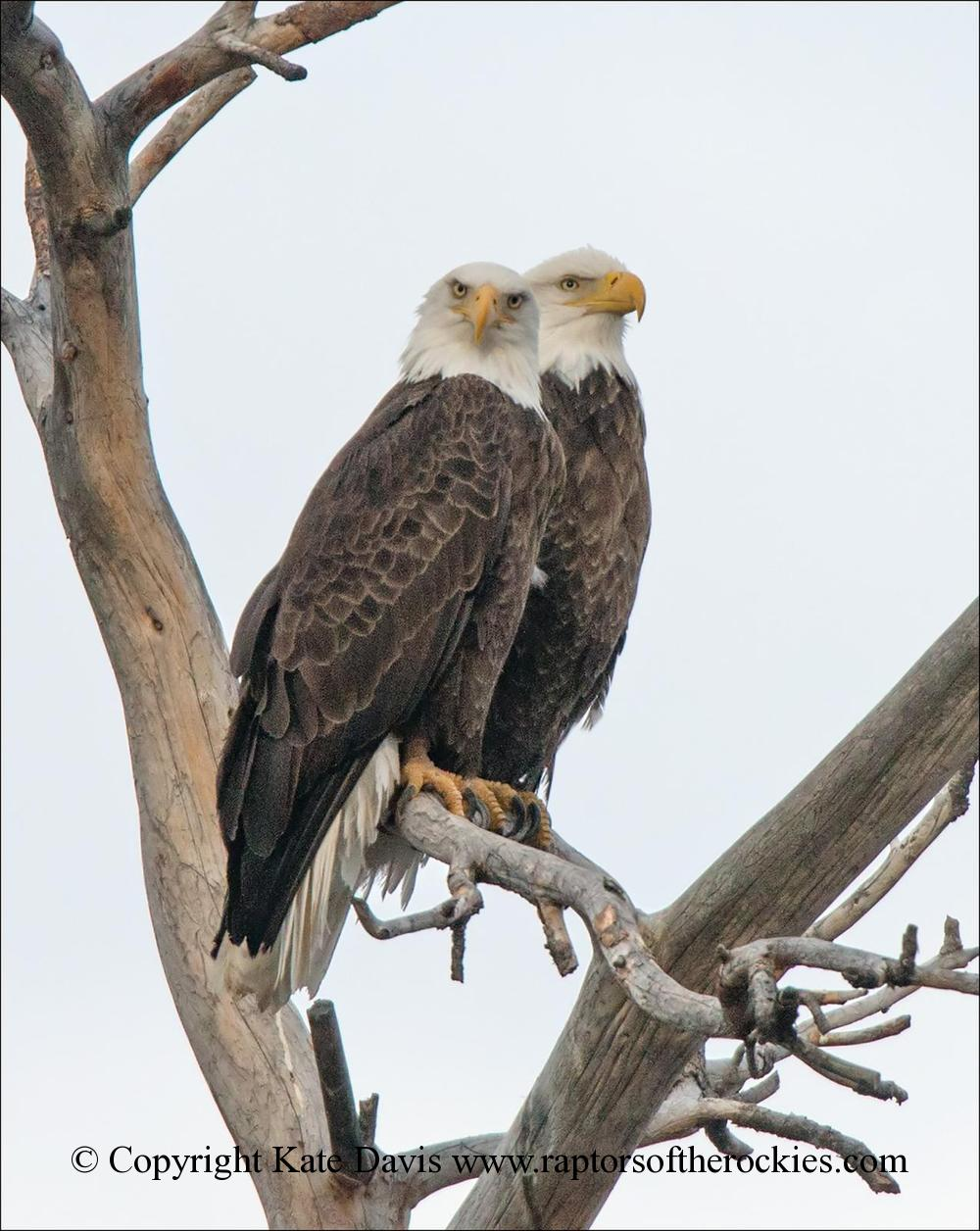 American Bald Eagle - Looking At You, Kate - Golden Eagle - Looking At You, Kate,  Bald Eagles at the river by the house
